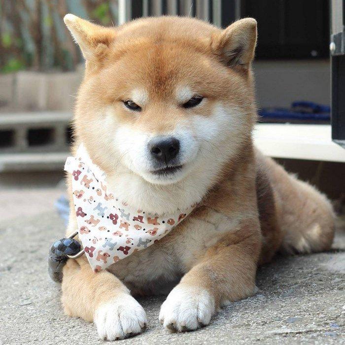 cute-dog-shiba-inu-ryuji-japan-14