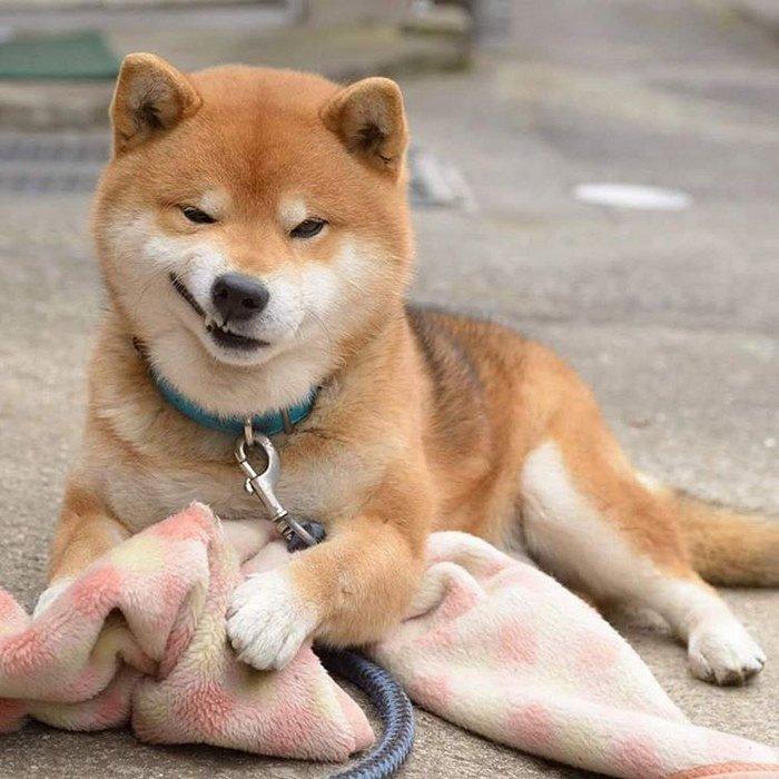 cute-dog-shiba-inu-ryuji-japan-29