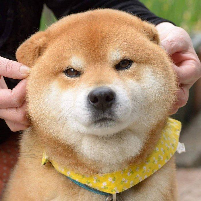 cute-dog-shiba-inu-ryuji-japan-69