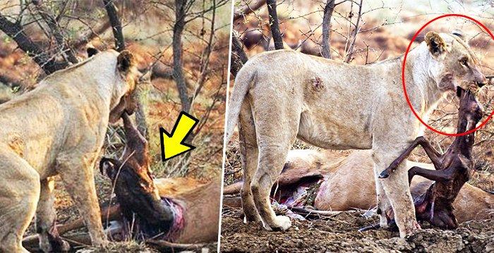 aki 618 - 임신한 사슴 사냥 후... 암사자의 '놀라운 행동'에 모두가 깜짝!