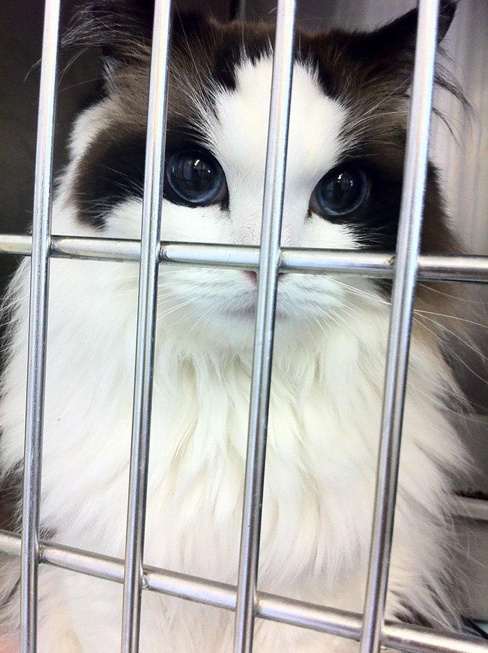 Stunning Ragdoll Cat Mimi