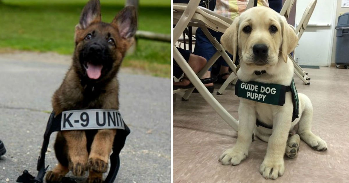 adorable puppies on first day.jpg?resize=412,232 - 20+ Adorable  Puppies On Their First Day At Work Will Definitely Make Your Day Happy
