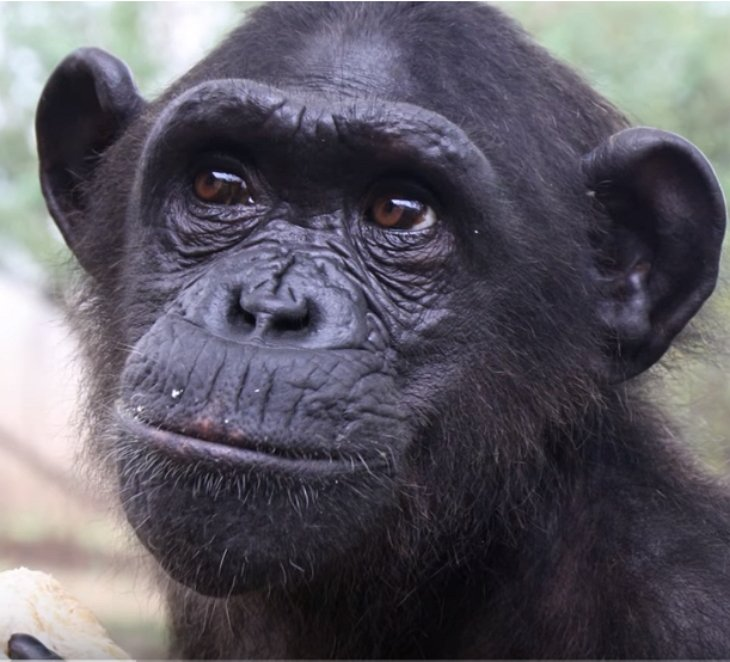 chimp released rescuer chimp - She Takes Care Of Sick Chimp. Chimp Is About To Be Released, And Her Final Act Is Tear-Dropping