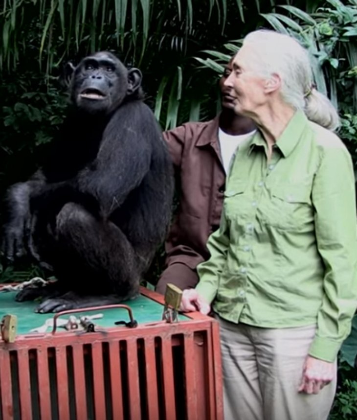 chimp released rescuer chimp2 - She Takes Care Of Sick Chimp. Chimp Is About To Be Released, And Her Final Act Is Tear-Dropping