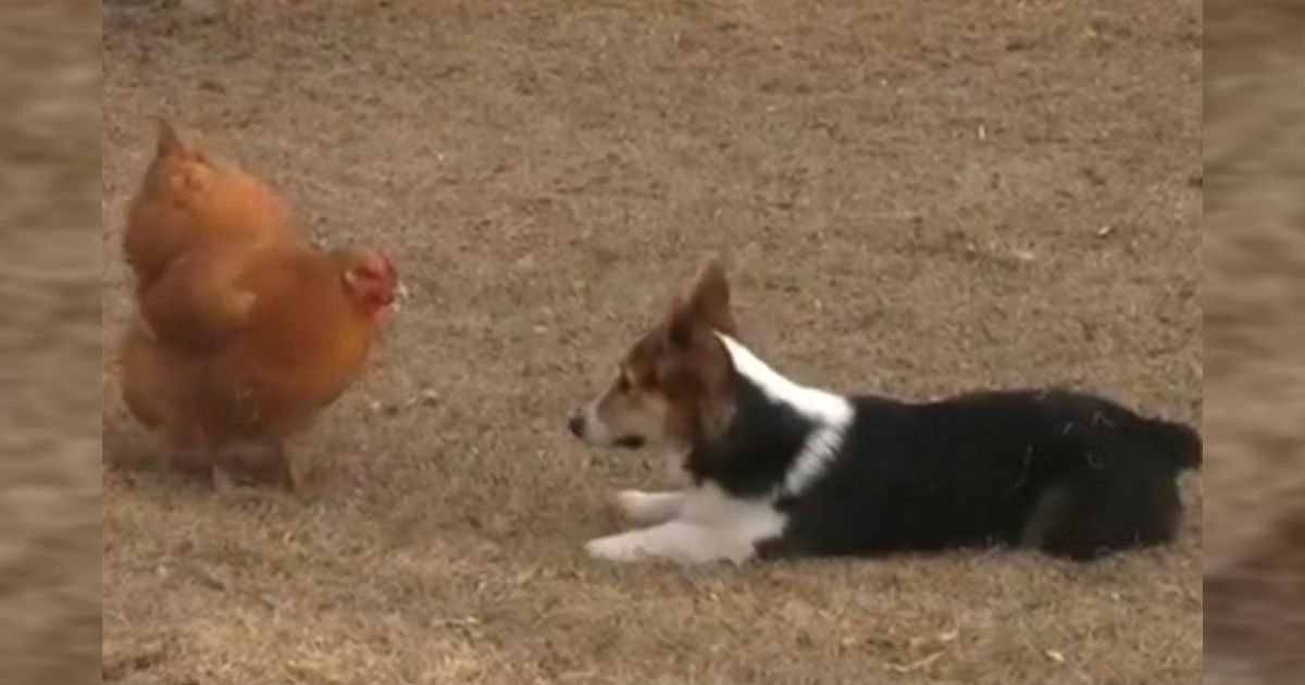 ec9db4eba684 ec9786ec9d8cfaeesdfsf - Corgi Pup Plays With Chicken. Every Move Of This Adorable Duo Is Captured On Camera