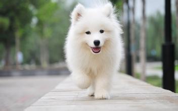 image00 - 狗狗界的「蘿莉塔」薩摩耶使出「天真無邪」憨笑,融化眾多網友:「實在無法對牠生氣耶...」