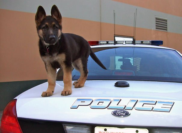Police K-9 Puppy