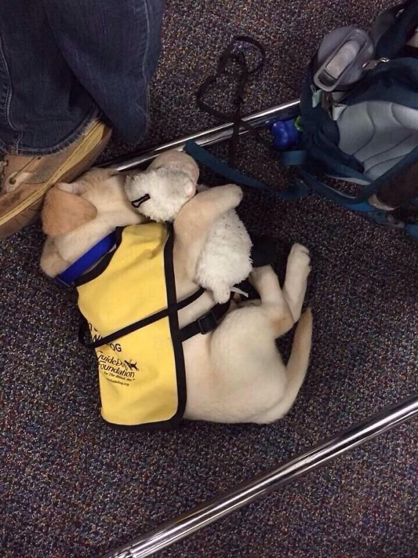 Guide Dog Puppy With His Teddy Bear