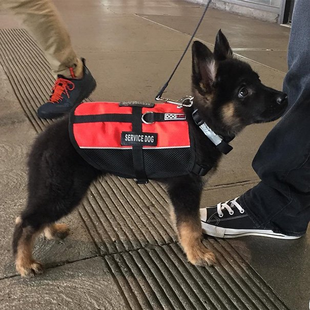 And The Winner For Cutest Service Dog Goes To
