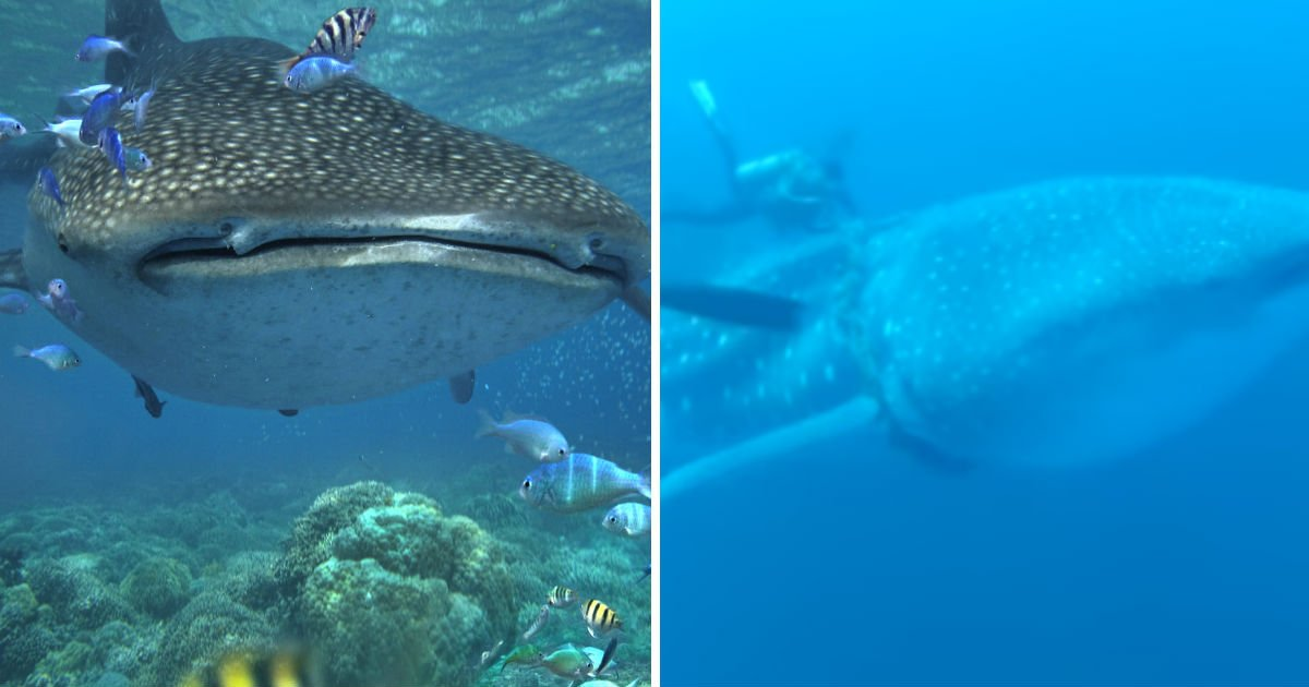 whale-shark-rescue