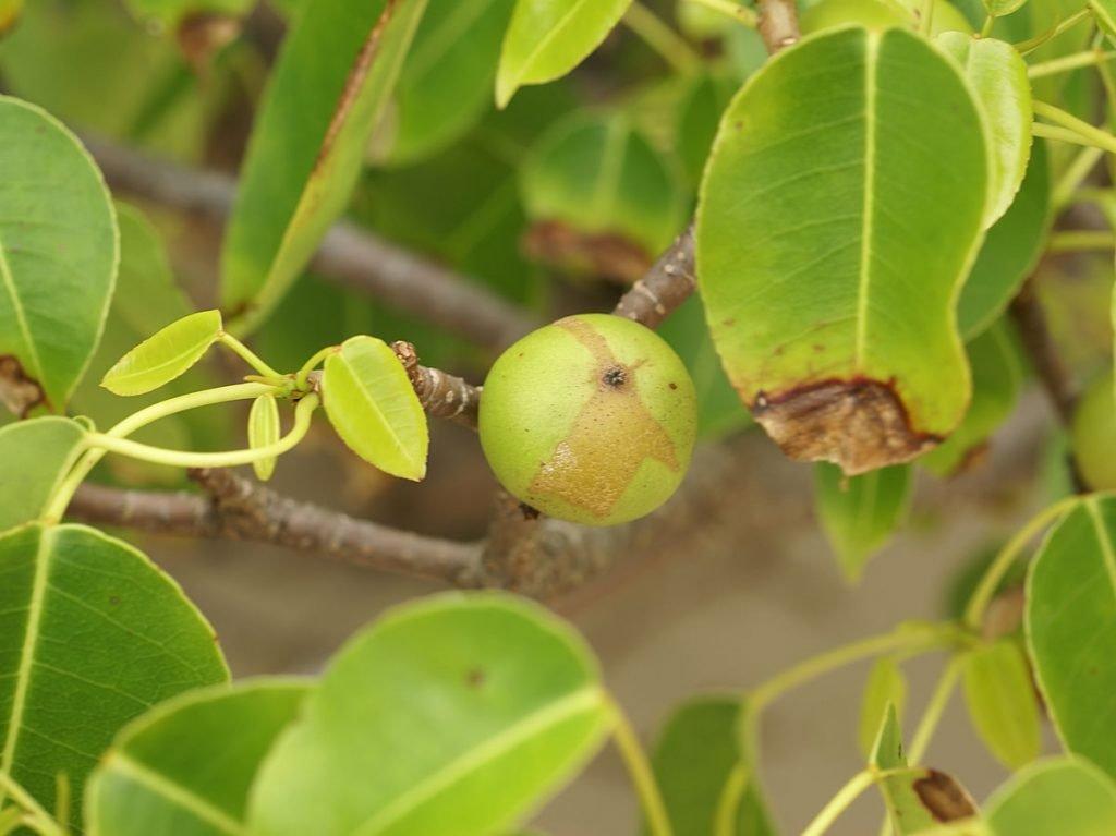1200px-hippomane_mancinella_fruit