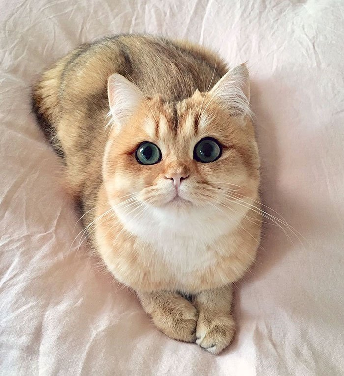 10 beautiful cats world worlds most beautiful cats 31 57fb9b12e526b 700 - 10+ Of The Most Beautiful Cats In The World