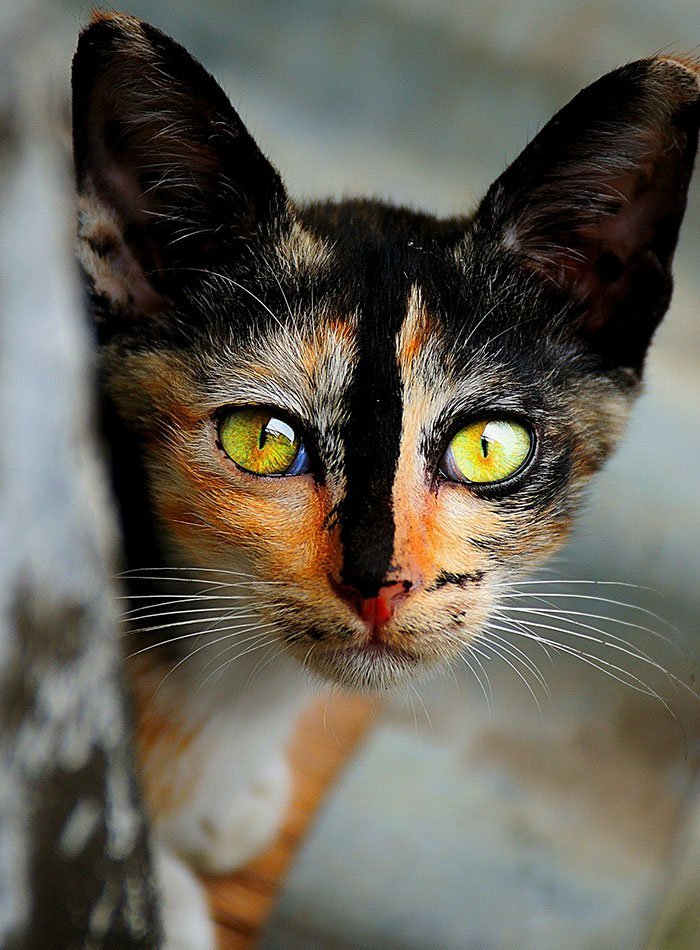 10 beautiful cats world worlds most beautiful cats 61 57fcf4fab77c3 700 - 10+ Of The Most Beautiful Cats In The World
