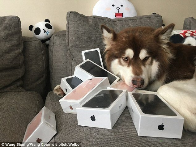 3895077e00000578 3796892 they are all mine pictures of the dog and her phones have attrac a 4 1474301557815.jpg?resize=412,232 - Son of China's Richest Man Buys SEVERAL iPhone 7s For His DOG