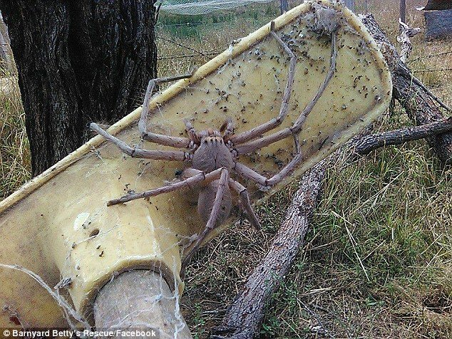 3a02bb7200000578 0 image a 73 1478150956920.jpg?resize=648,365 - Behemoth Spider That Rocked Snapchat Could Be The Biggest Huntsman EVER