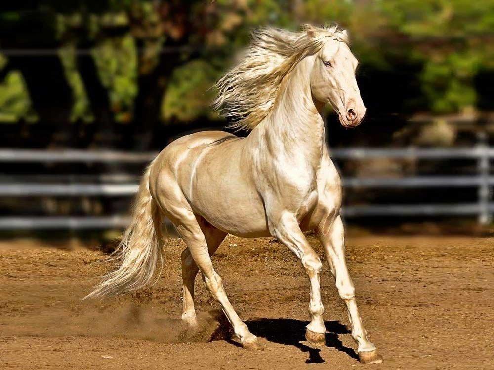 4a7c253d1b476ae429b04eb41e3f6df3 - Conheça a raça raríssima de cavalos que é considerada a mais bela do mundo