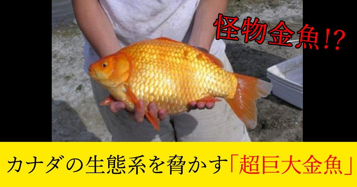 88 3 2.jpg?resize=412,232 - カナダの生態系を脅かす「超巨大金魚」
