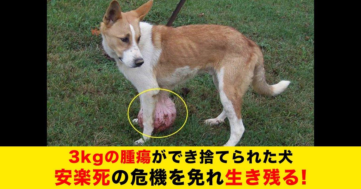 88 55.jpg?resize=412,232 - 3kgの腫瘍ができ捨てられた犬、安楽死の危機を免れ生き残る!