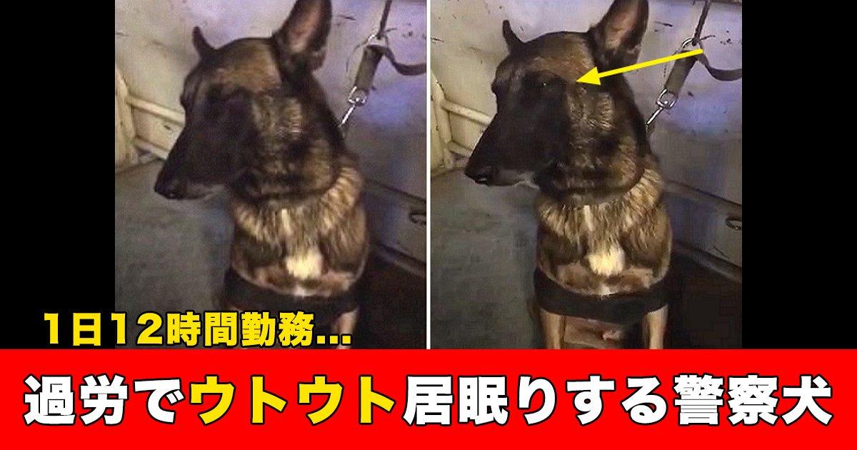 88 66.jpg?resize=1200,630 - 1日12時間勤務...過労でウトウト居眠りする警察犬