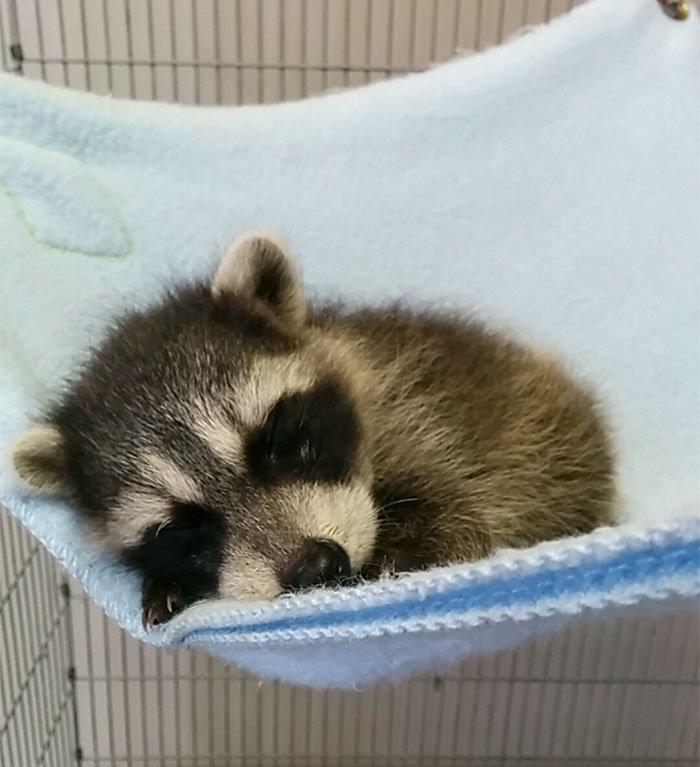 adorable-cute-raccoons-154-59564ee659940__700