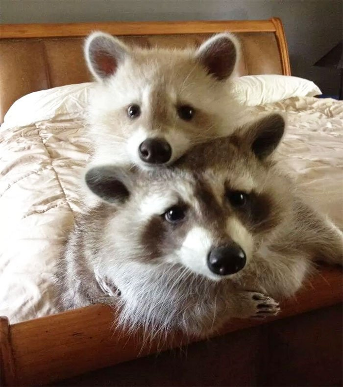 adorable-cute-raccoons-51-59561bf995a16__700