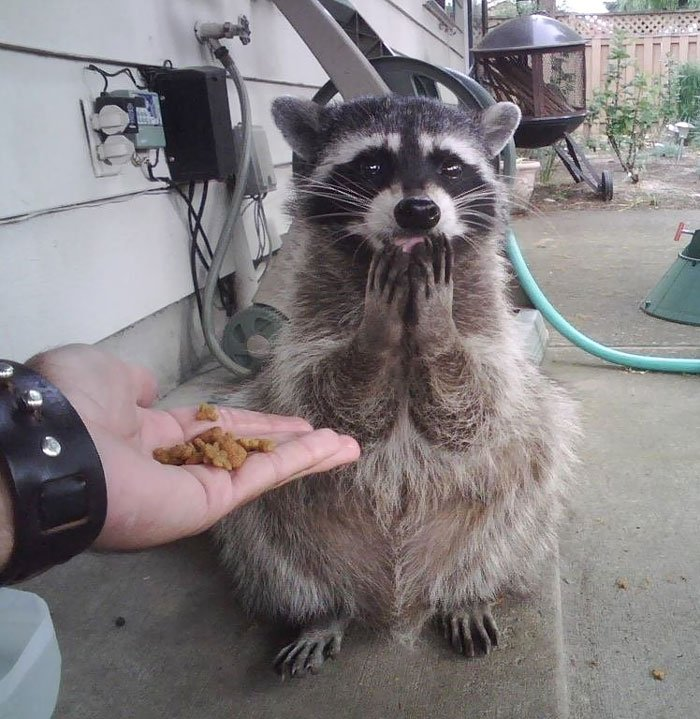 adorable-cute-raccoons-66-59563d8b8304f__700