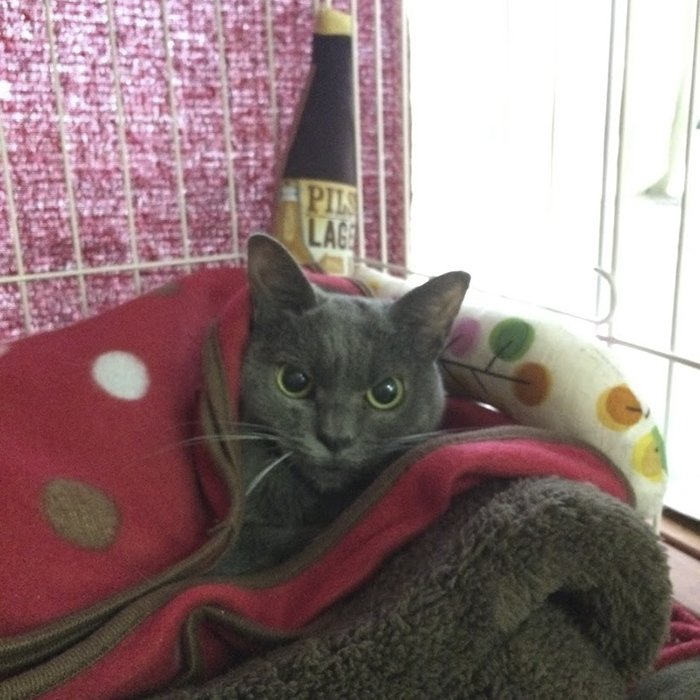 always-angry-cat-shamo-20-59afa0b5583c5__700