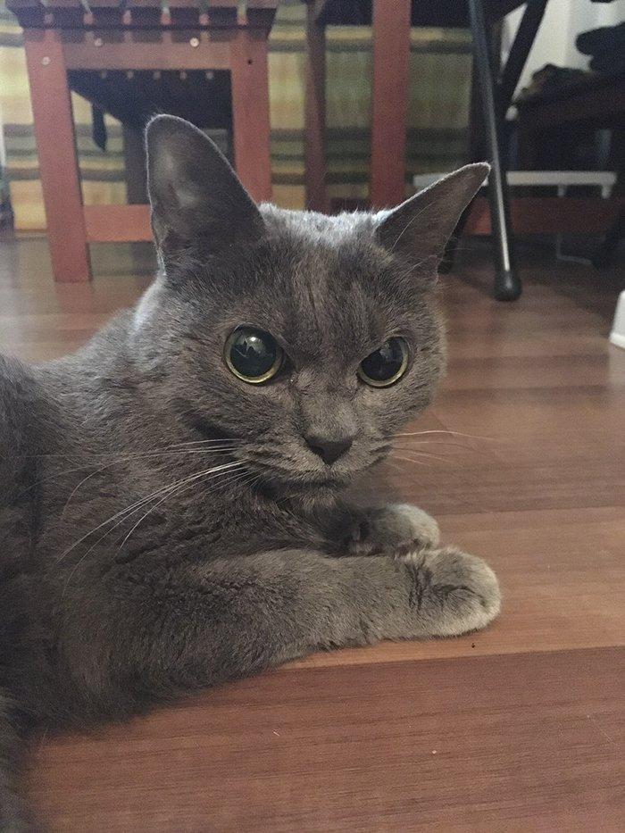 always-angry-cat-shamo-9-59afa0e36fa3b__700