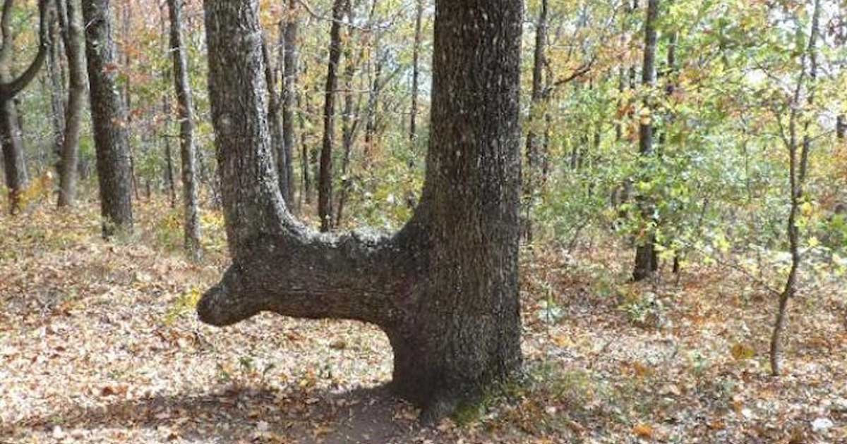 bent tree featured.jpg?resize=300,169 - When You Come Across Bent Trees Like This, This is What You Must Know About Them