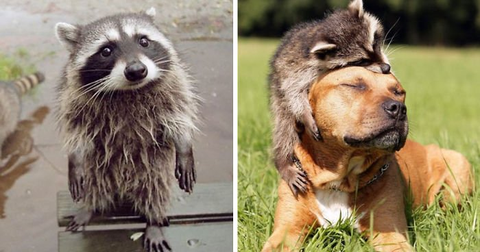 fb image sharing dashboard 59566792204ec  700 1.jpg?resize=412,232 - 15 Pictures That Prove Raccoons Are The Cutest Animal In The World
