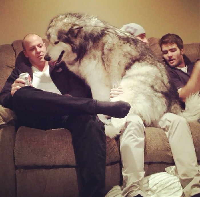 giant-lap-dogs-100-599c1d67b2f59__700