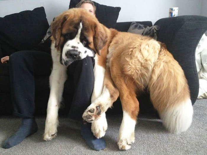 giant-lap-dogs-120-599c38f65d499__700