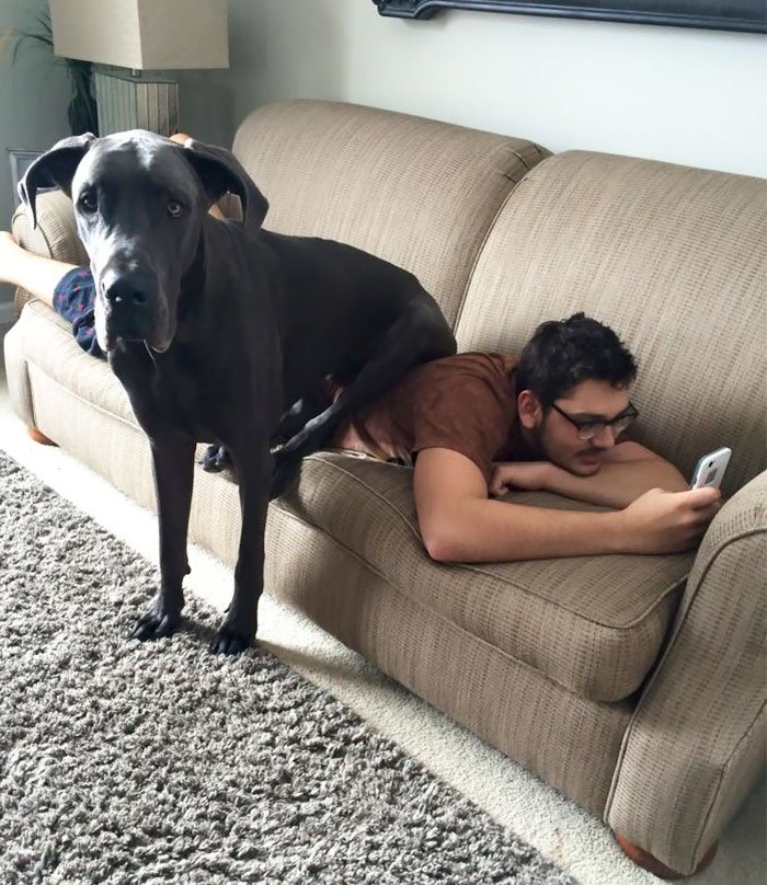 giant-lap-dogs-133-599fc4786264f__700