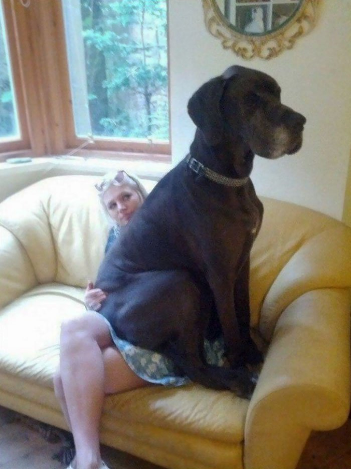 giant-lap-dogs-140-599fd177b8bc4__700
