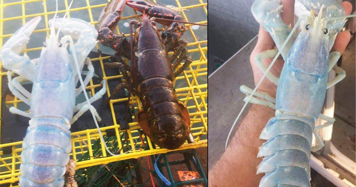 langosta.jpg?resize=1200,630 - Insólita criatura es capturada en el mar