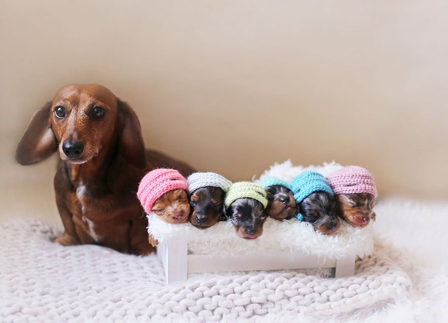 sausage dog maternity photoshoot puppies 2.jpg?resize=412,232 - Sausage Dog Poses With Her Tiny Sausages For Maternity Photoshoot