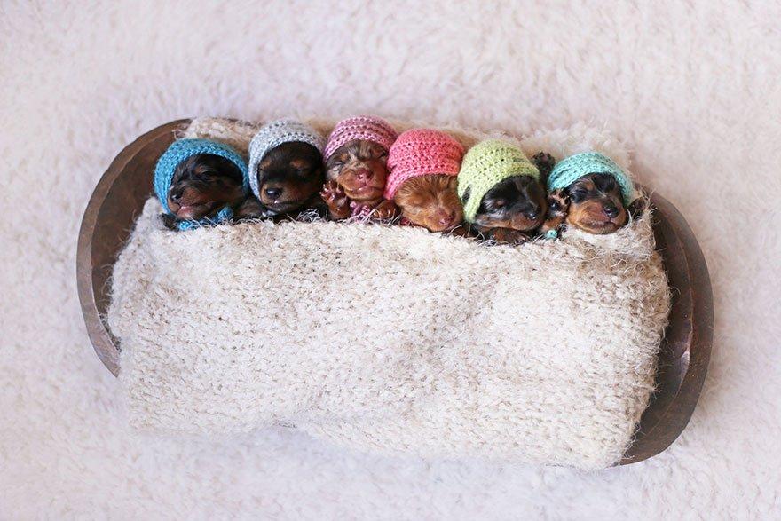 sausage-dog-maternity-photoshoot-puppies-3