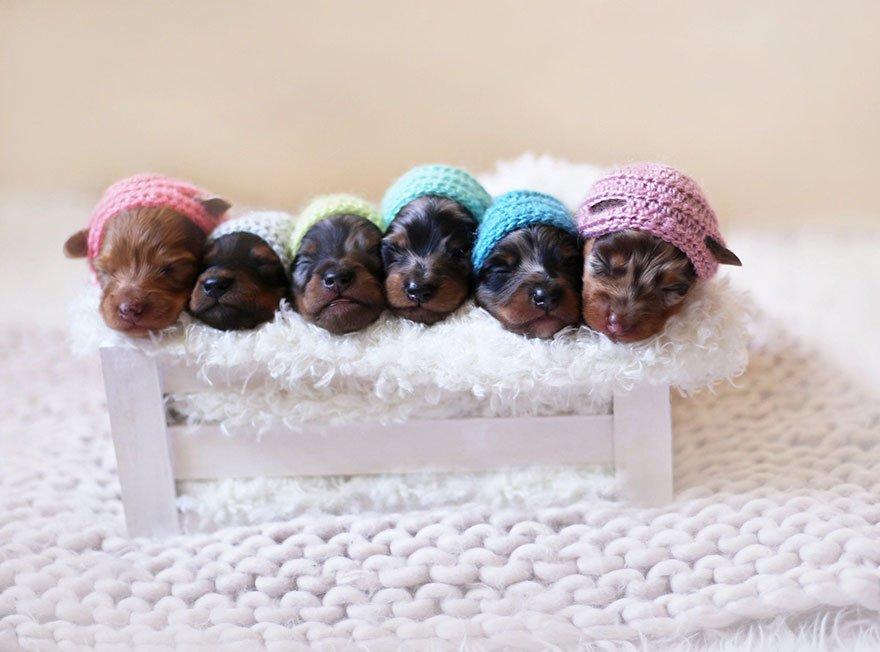 sausage-dog-maternity-photoshoot-puppies-4
