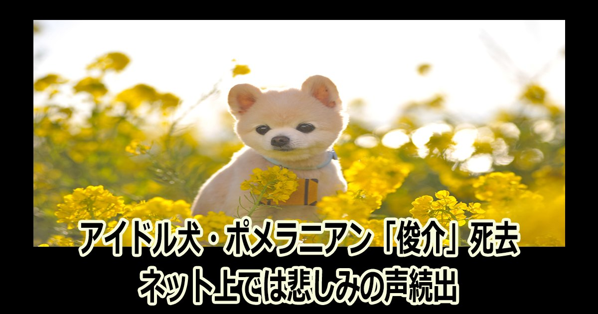 syunsuke th - アイドル犬・ポメラニアン「俊介」死去にネット上では悲しみの声続出