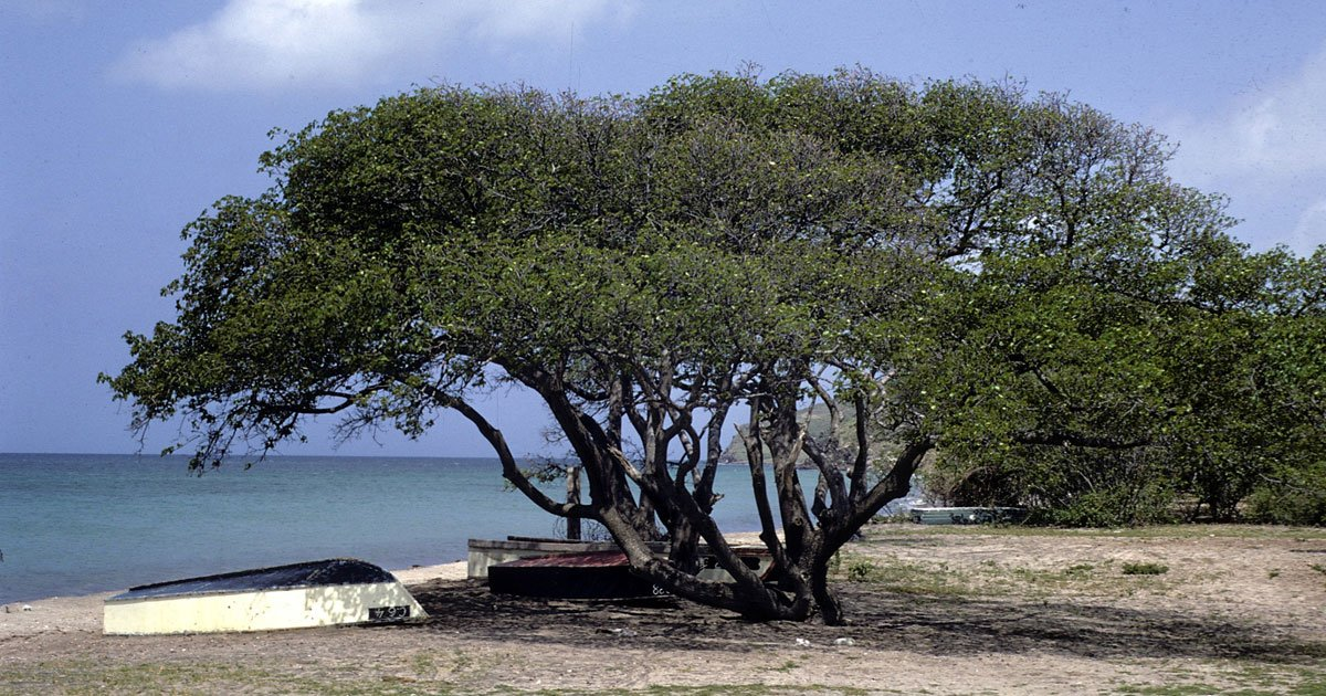 untitled 1 4.jpg?resize=1200,630 - Es conocido como el árbol de la muerte y te contaremos por qué es mejor estar lejos de él.