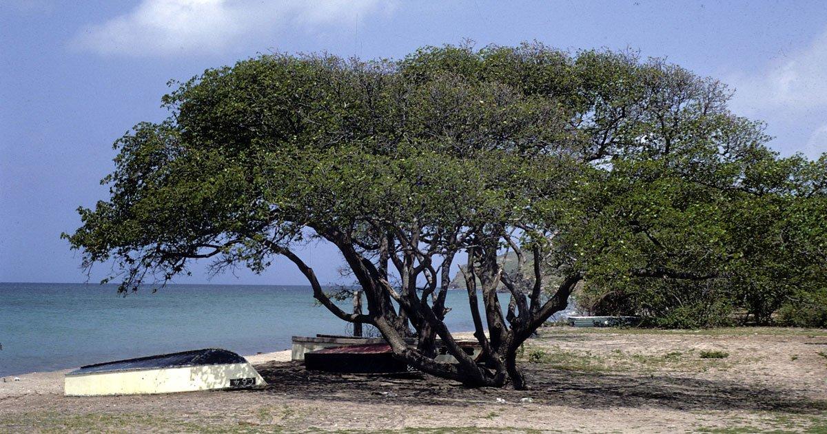 untitled 1 4.jpg?resize=300,169 - Es conocido como el árbol de la muerte y te contaremos por qué es mejor estar lejos de él.