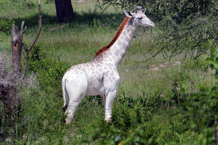 white-giraffe-leucism-albino-rare-animals-omo-tanzania-8