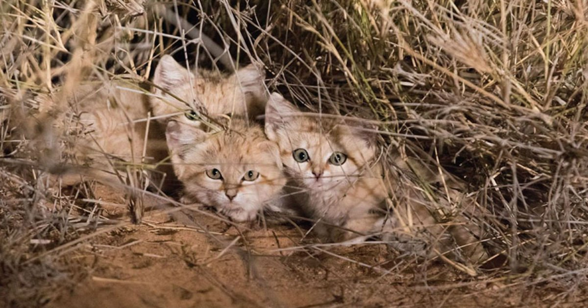wild sand kitten.jpg?resize=300,169 - Wild Sand Kittens Is Caught On Camera For The Very First Time In History And They Prove That All Babies Are Adorable