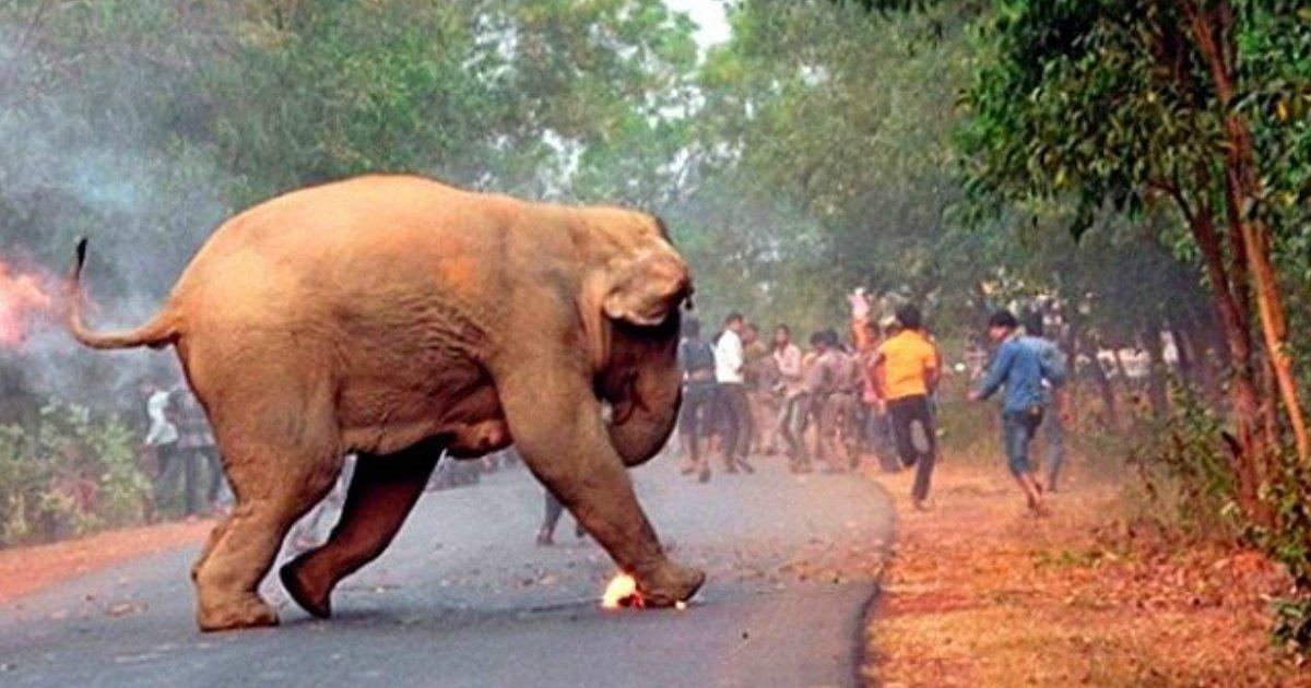 1 486 - 사람들이 몸에 '불지르고' 달아나자 괴로움에 울부짓는 아기 코끼리