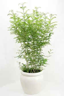 1 759.jpg?resize=1200,630 - いま人気の種類は?「植木」の知識