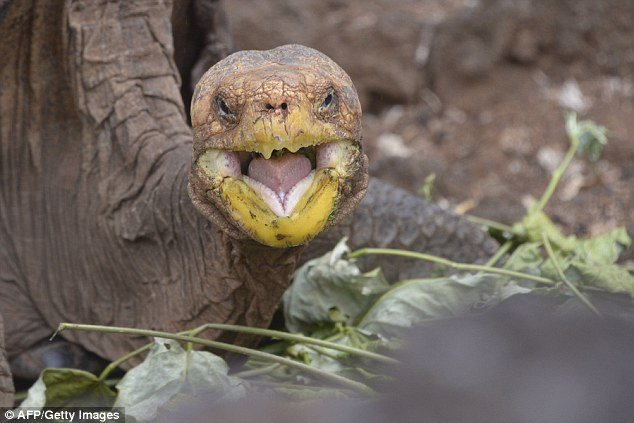 38560d3300000578 3788645 image a 32 1473841583589 1.jpg?resize=412,232 - Sex-mad Galapagos tortoise saves his species!