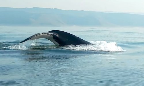 This Man Films The Rarest Moment When A Ton Humpback Whale - Rare moment 40 ton whale jumps completely out of the water