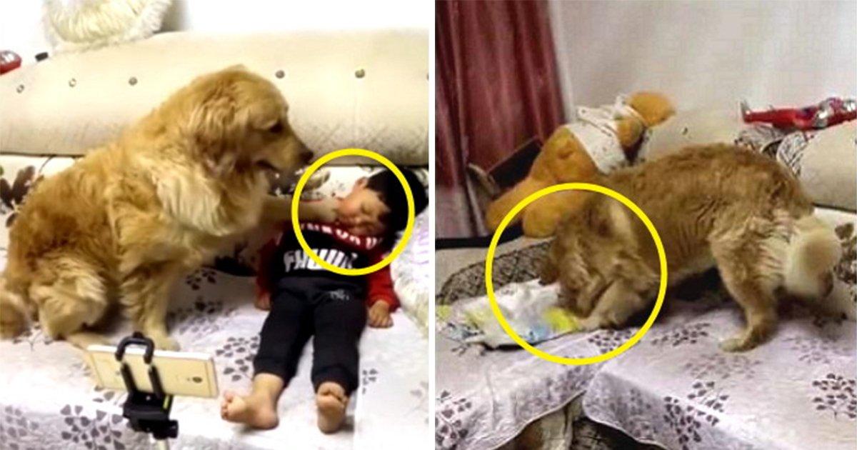 article thumbnail 24 - 소년이 잠들자... '천사견' 리트리버가 '동생'을 위해 한 행동 (영상)