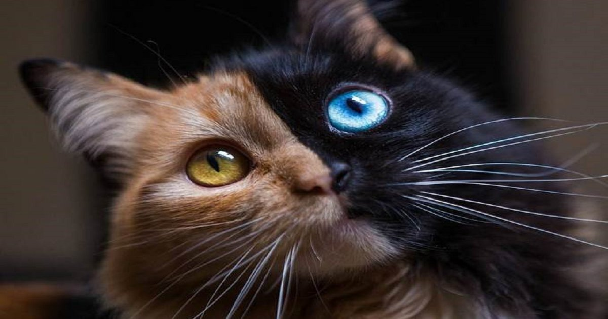 chimera - A Chimera Kitten with Different DNAs is Gorgeous Enough to Get over 36,000 Followers on Instagram