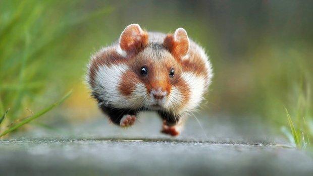 comedy wildlife photography awards julian rad hamster 1st price dec 2015.jpg?resize=1200,630 - Les photos d'animaux les plus drôles de 2015